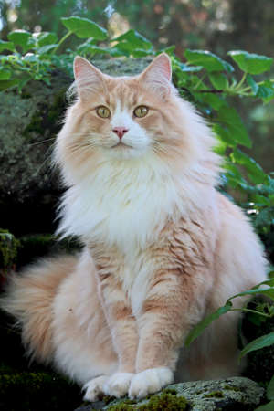 A big and strong norwegian forest cat sitting in green garden on a summer day