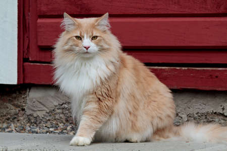 A big and strong norwegian forest cat male sitting in front of old red door Reklamní fotografie
