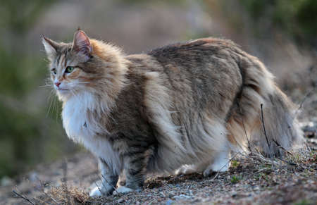 Norwegian forest cat female standing outdoors on a windy evening