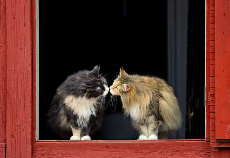 Two norwegian forest cat females smelling each others nose on a doorstep