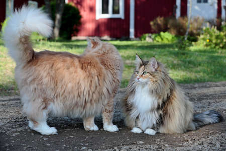 Two norwegian forest cats, a male and a female taking outdoor exercise in garden Foto de archivo - 132106056