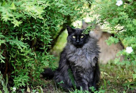 Norwegian forest cat male sitting under a green bush Foto de archivo - 132105171