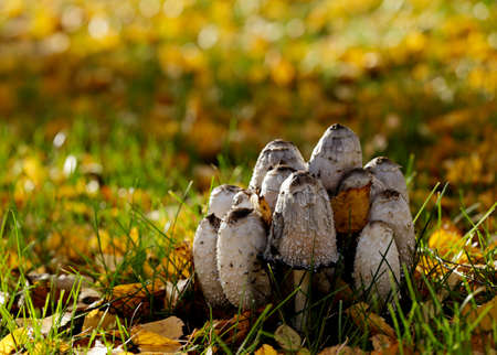 Shaggy ink caps growing in park in autumn light Stok Fotoğraf - 132614325