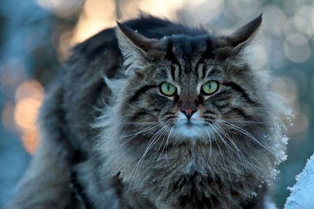 A furious norwegian forest cat male sits on a stone in the winter time staring at the photographer