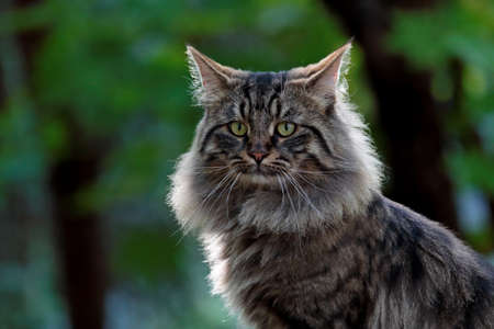 A handsome norwegian forest cat male looking at the camera