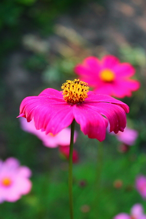 flourished: Cosmos flower blooming on the background of the garden. Stock Photo