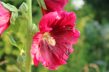 flourished: Mallow flower blooming on the background of the garden on a sunny day. Stock Photo