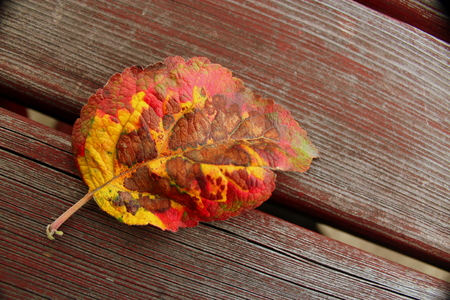 yeloow: Colorful leaf in autumn colors lying on a wooden table top.
