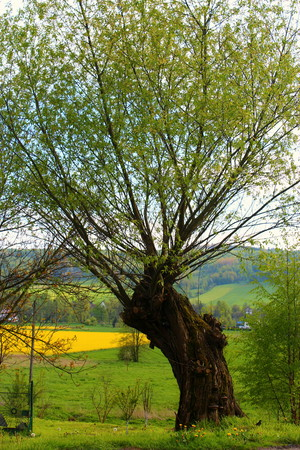salix alba: View of the field and the tree from the road in the district of Klo the spring season.