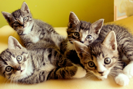 carefully: Four small 5-week-old kittens are together and look carefully.