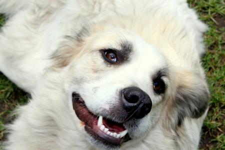 large dog: A large mixed breed dog lying on the ground.