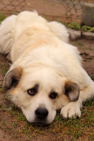 large dog: A large mixed breed dog lying on the grass.