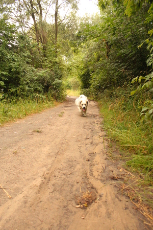 large dog: A large mixed breed dog is runing along the road in a green park.