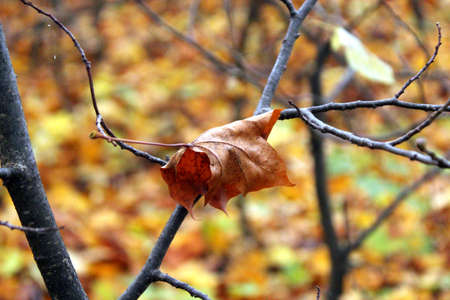 dry leaf: Dry leaf on a tree branch anchored seen in the light of the setting sun autumn season in the Wielkopolski National Park.