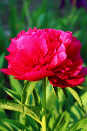 flourished: Bloomed cherry blossom peony growing in the garden on a green background on a warm day of the May season.