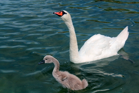 swimm: White swan with adult offspring in waters of Lake Powidz in Poland.