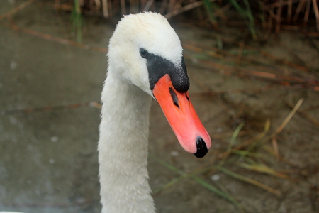 swimm: The head of an adult white swan in the waters of Lake Powidz in Poland.