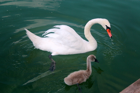 hijos: White swan with adult offspring in waters of Lake Powidz in Poland.