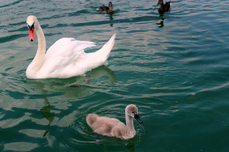 two ducks: White swan with adult offspring and two ducks in waters of Lake Powidz in Poland.