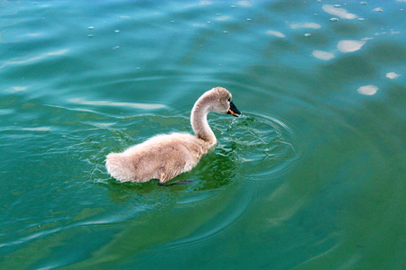 nestling: Nestling swan swims in the waters of Lake Powidz in Poland. Stock Photo