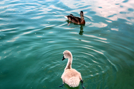 swimm: Chick swan and duck swimming in the waters of Lake Powidz in Poland. Stock Photo