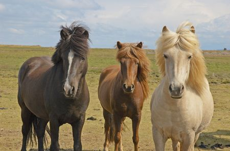 icelandic: Icelandic horses, Iceland Stock Photo