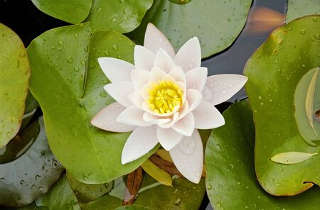 water lily with flower in a pond