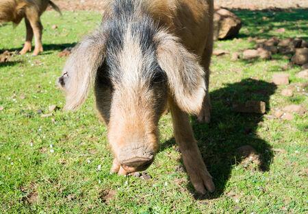 jabali: Cerdo salvaje en Baunei, Cerde�a, Italia