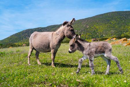 burro: Burros sardos en la isla de Asinara en Cerde�a, Italia Foto de archivo