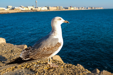 andalucia: Seagull in Cadiz waterfront, Andalucia, Spain