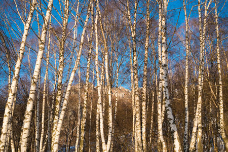 birchwood: Birchwood in winter close to Ballabio, Lecco, italy Stock Photo