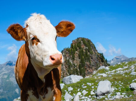 sud tirol: Cow grazing close to Vedrette di Ries, Aurina Valley, South Tirol, Italy