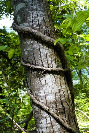 stranded: Tree trunk with branch stranded around, Arco, Trento, Italy