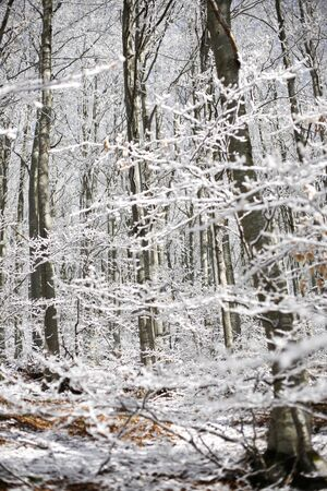 appennino: Forest with snow, passo del Lagastrello, Tuscany, Italy