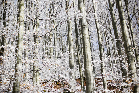 Forest with snow, passo del Lagastrello, Tuscany, Italy