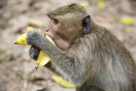 siem reap: Monkey in Angkor, Siem Reap, Cambodia