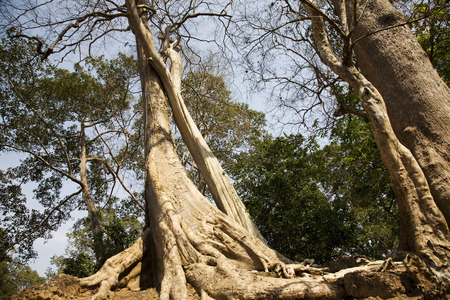��archeological site�: Forest in Angkor archeological site, Siem Reap, Cambodia Stock Photo