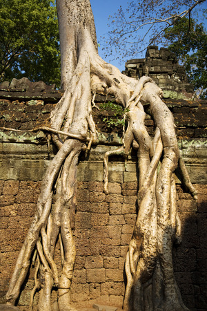 raider: Ta Prohm temple with a big tree in Angkor; Siem Reap; Cambodia