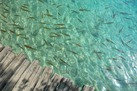 Fishes in the lake in Plitvice lakes National Park, Croatia