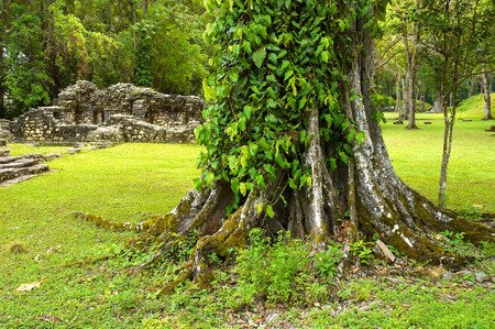 ���archeological site���: Big tree in Yaxchilan archeological site, Chiapas, Mexico
