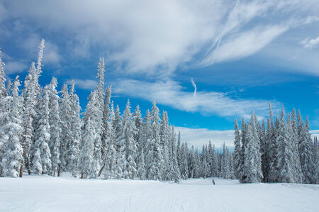 Pine trees with snow in Steamboat Springs, colorado, Usa Standard-Bild