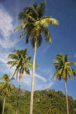phi phi: Palm tree in Koh Phi Phi island, Thailand