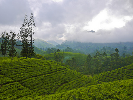 Tea fields close to Nuwara Eliya, Sri Lanka Stock Photo