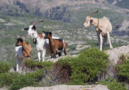 Goats in Sardinia, Italy