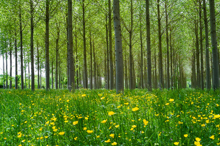 bucolic: Forest of Poplars in the countryside of Angers, France Stock Photo
