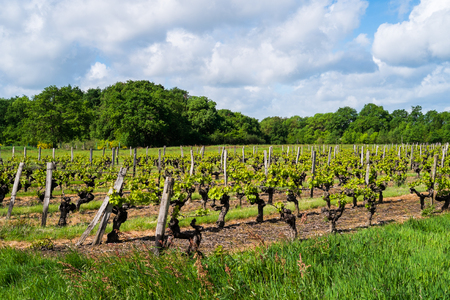 Grapevines in the countryside of Angers, France