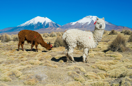 volcanos: Alpacas and twin volcanos Parinacota and Pomerape in Sajama National Park, Bolivia