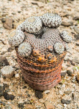 parque: Cactus in Parque Nacional Pan de azucar, Chile