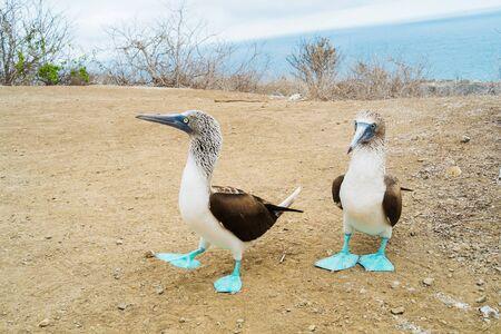 A couple of blue foot boobies in Isla de la Plata, Puerto Lopez, Ecuador Archivio Fotografico