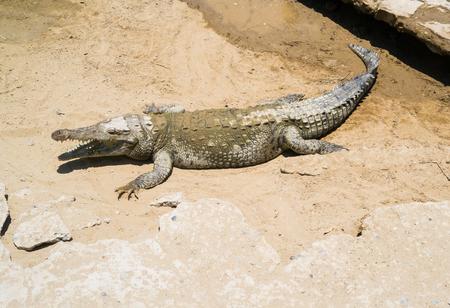 pizarro: Baby crocodile in Puerto Pizarro, Tumbes, Peru